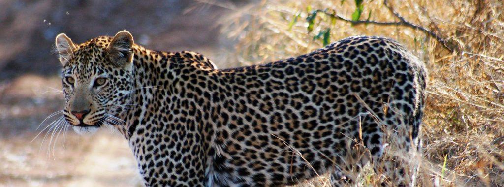 På safari i Afrika ser du blandt andet leoparden