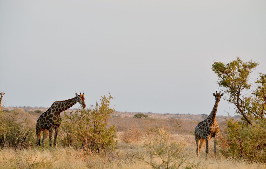 Tag på safari i Sydafrika med andre singler