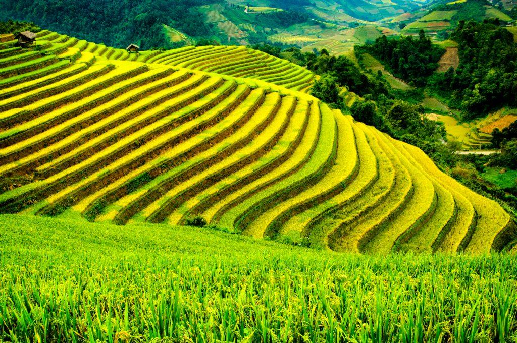 På rundrejse i Vietnam for singler ser vi også rismarker
