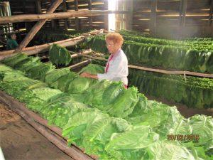 I Vinales i Cuba kan du besøge tobaksfabrikker-dame-med-tobaksblade-RED
