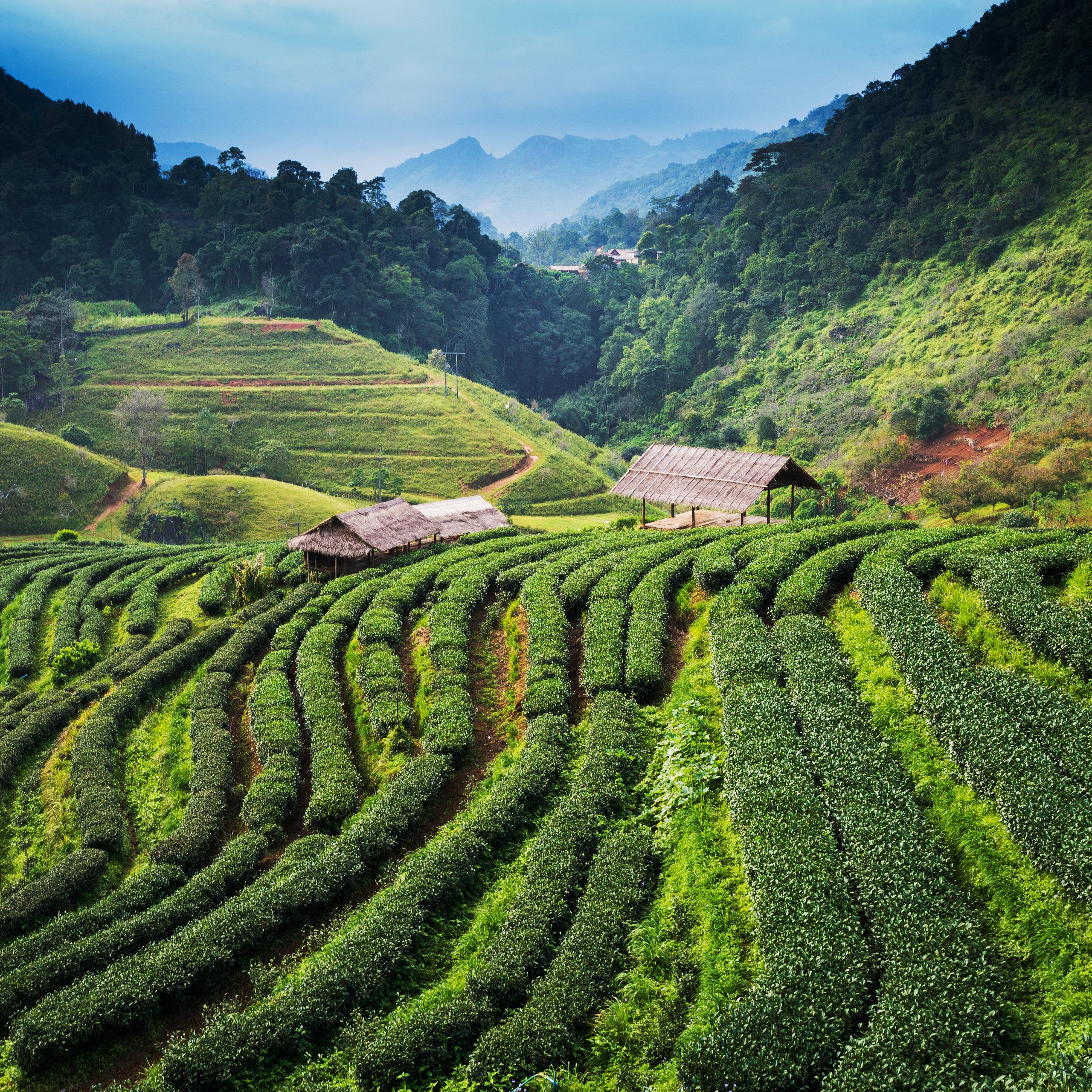 På en rejse til Sri Lanka ser du også højlandet med teplantager og køligt vejr
