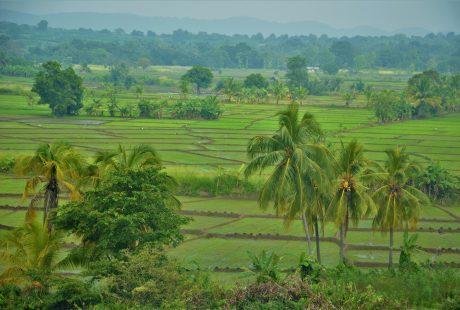 På en rejse til Sri Lanka ser du også masser af grønne rismarker
