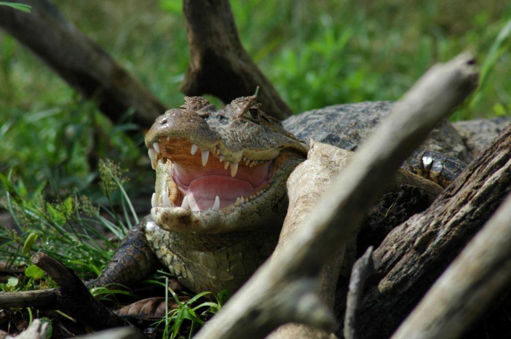 Krokodille med åbent gab i Cano Negro-reservatet