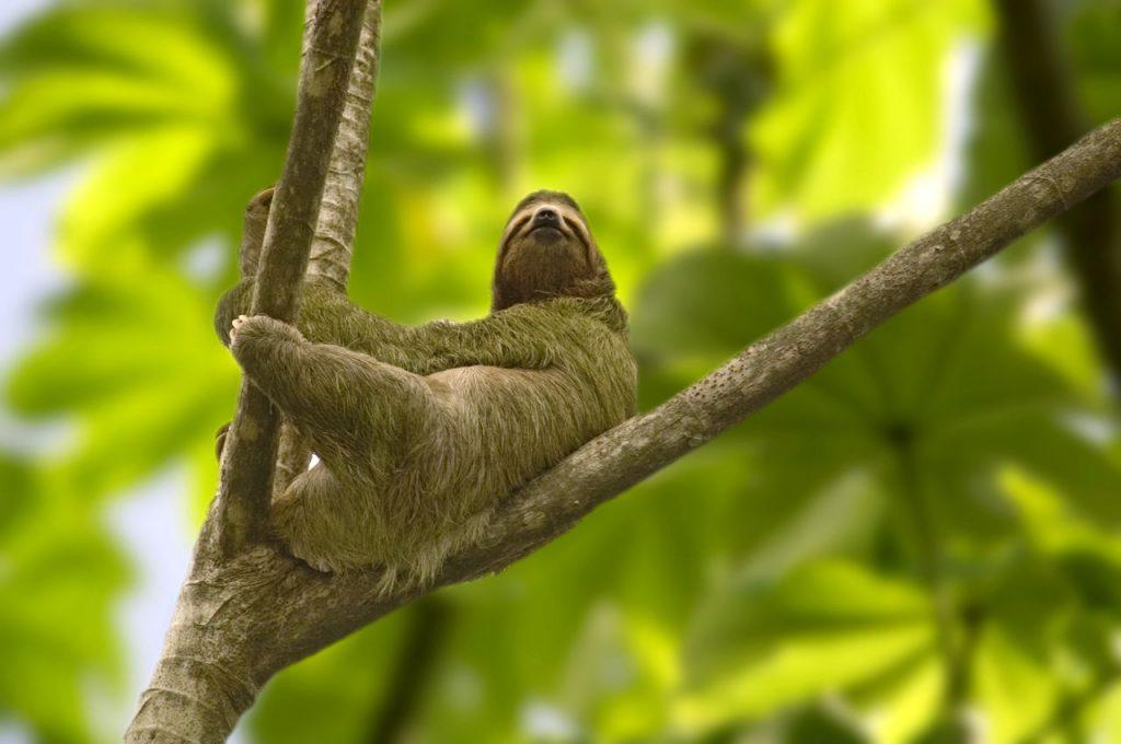 Brøleabe i et træ i regnskoven i Costa Rica