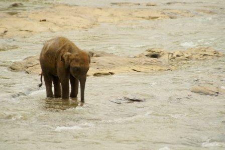 På en rejse til Sri Lanka kan du besøge elefantbørnehjem