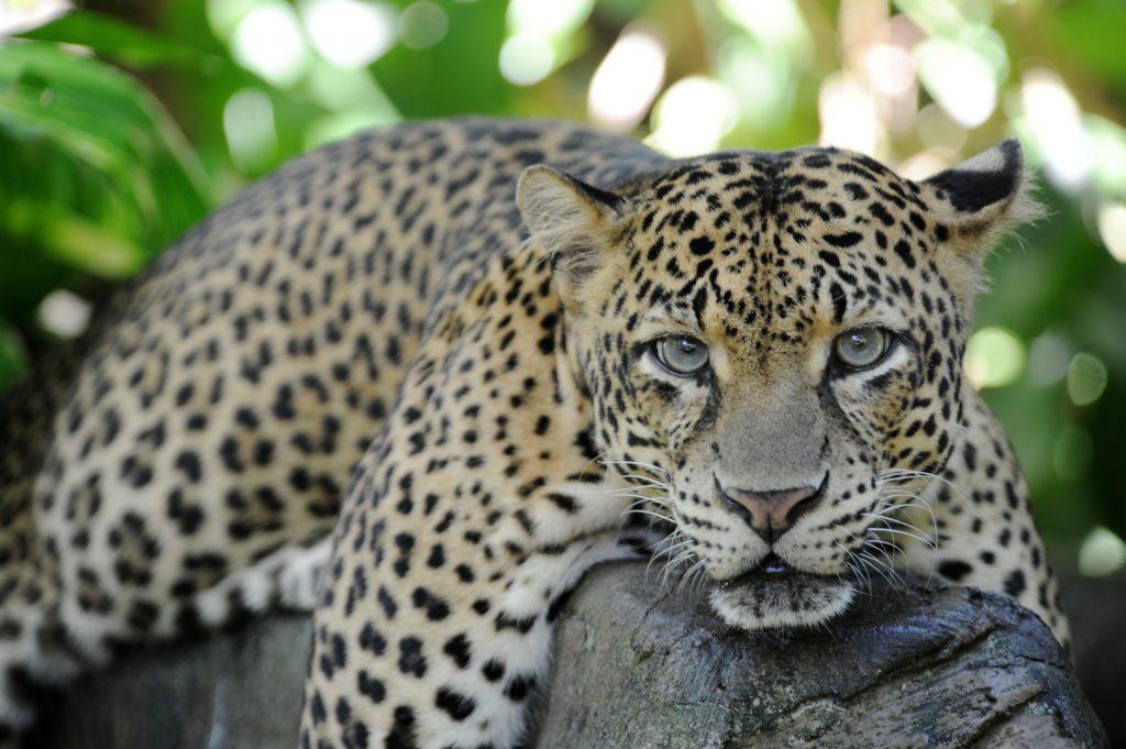 Yala National Park har flest leoparder i verden