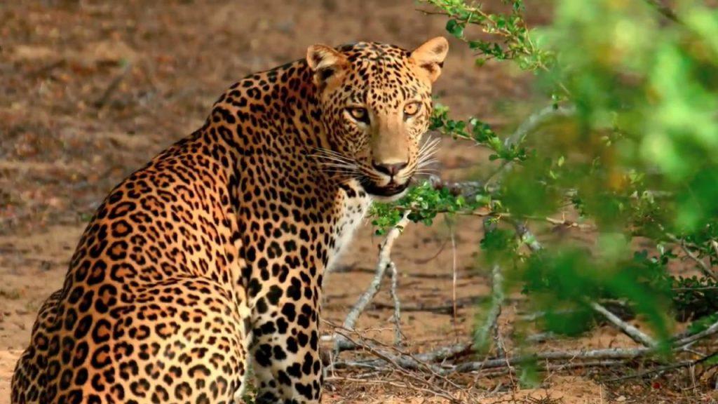 På en rejse til Sri Lanka ser I leoparder