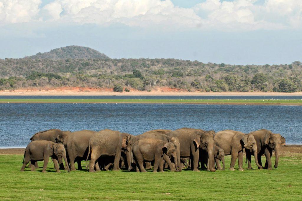 På en rejse til Sri Lanka ser I MInneriya National Park