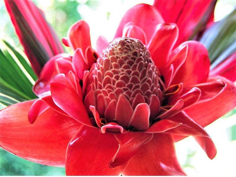 Eksotisk rød blomst i Costa Rica
