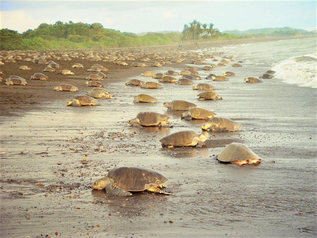 Masser af skildpadder på stranden